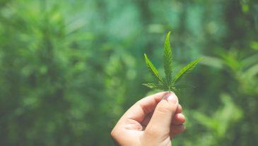 Hand marijuana leaves.
